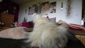 Kleiner weißer Hund glaubt gut stock video