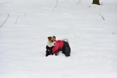 Kleiner weißer Hund im roten und blauen Overall Lizenzfreie Stockfotografie