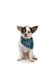 Kleiner weißer Hund mit einem blauen Bandana Stockbild