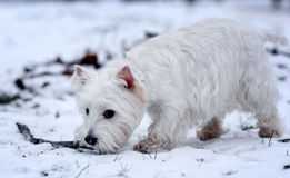 Kleiner weißer Hundeterrier Stockbilder