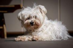 kleiner weißer maltesischer Hund lizenzfreies stockfoto