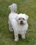 Kleiner weißer neugieriger Hund Lizenzfreies Stockfoto