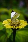 Kleiner weißer Schmetterling Stockfotos