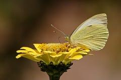 Kleiner weißer Schmetterling auf Blume lizenzfreie stockfotos