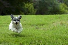 Kleiner weißer laufender Hund Stockbild