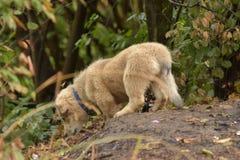 Kleiner Welpe, der Boden nach Nahrungsmitteln und Schnüffelnblättern sucht Stockbild