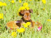 Kleiner Welpe, der in einem Korb auf dem grünen Gras sitzt Russisches Spielzeug Stockbilder