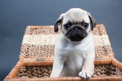 Kleiner Welpe Pug Stockfotografie