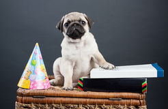 Kleiner Welpe Pug Stockfoto