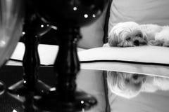 Kleiner Welpe zieht schönes Mädchen durch die Strickjacke Lizenzfreies Stockfoto