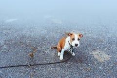 Kleiner Welpe Zucht Staffordshires Terrier Stockfoto