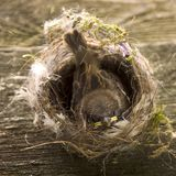 Kleiner wilder Vogel Spatz, der im Nest sitzt lizenzfreies stockfoto