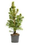 Kleiner, wirklicher undecorated bloßer Weihnachtsbaum in einem Topf Lizenzfreie Stockfotografie
