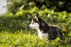 Kleiner Wolf, der das Gras jagt Stockfoto