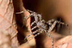Kleiner Wolf Spider Stockbilder
