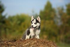 Kleiner Wolf Welpen-Schlittenhund Stockfoto