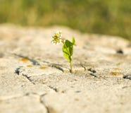 Kleiner Zierpflanzenbau auf einem Stein Lizenzfreie Stockfotos