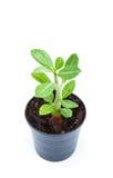 Kleiner Zierpflanzesprössling auf weißem Hintergrund Stockbild