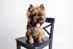 Kleiner zuverlässiger Hund, der auf einem Stuhl sitzt Stockbilder