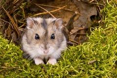 Kleiner zwergartiger Hamster Lizenzfreie Stockfotos