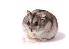 Kleiner zwergartiger Hamster, der Kürbisstartwert für zufallsgenerator isst Stockbild