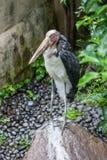 Kleinere adjudant, een exotische vogel in de vogelpark van Bali Royalty-vrije Stock Foto