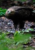 Kleinere bevlekte adelaar Royalty-vrije Stock Foto