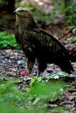 Kleinere bevlekte adelaar Royalty-vrije Stock Afbeeldingen