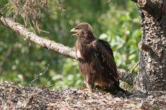 Kleinere bevlekte adelaar Stock Afbeeldingen