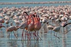 Kleinere Flamingo's stock afbeelding