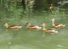 Kleinere fluitende eendgroep zwemt Stock Afbeeldingen