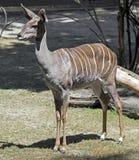 Kleinere kudu 6 Royalty-vrije Stock Fotografie