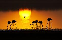 Kleinere minderjarige van flamingoesphoeniconaias Stock Foto's