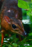 Kleinere muis-Herten of Kanchil (Tragulus kanchil) Royalty-vrije Stock Afbeeldingen