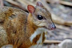 Kleinere muis-herten Tragulus kanchil Stock Foto