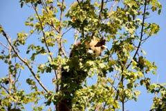 Kleinere panda Royalty-vrije Stock Foto
