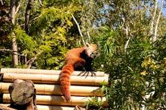 Kleinere panda Royalty-vrije Stock Fotografie