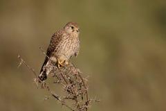 Kleinere torenvalk, Falco-naumanni stock fotografie