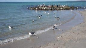 Kleinere Zeemeeuwen met zwarte rug op kust het afbreken voor vissenhoofden Royalty-vrije Stock Foto