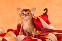 Kleines abyssinisches Kätzchen mit Kopftuch Lizenzfreies Stockbild