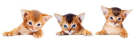 Kleines abyssinisches Kätzchen späht heraus Stockbild