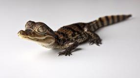 Kleines Alligatorkrokodil in der Studioqualität Lizenzfreie Stockfotos