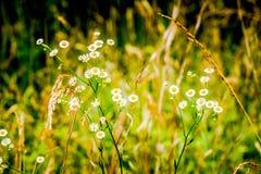 Kleines Büschel von Knopf-Gänseblümchen Stockfotografie