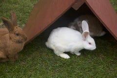 Kleines, behelfsmäßiges Dach schützt Albino Bunny und Freunde vor bevorstehendem Regen Stockfotos