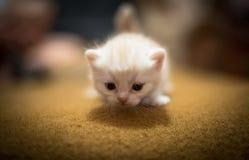 Kleines beige Kätzchen Stockfoto