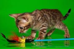 Kleines Bengal-Kätzchen, welches das Spielzeug betrachtet Lizenzfreie Stockfotos