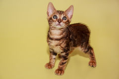 Kleines Bengal-Kätzchen, welches die Kamera betrachtet Lizenzfreie Stockbilder