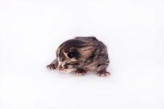 Kleines blindes Kätzchen auf einem weißen Hintergrund Stockbild