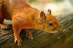 Kleines braunes Eichhörnchen auf Baum lizenzfreie stockfotos