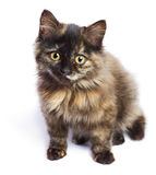 Kleines braunes Kätzchen 1 Lizenzfreie Stockfotografie